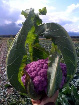 470e3-cabbage
